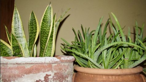 Left to Right - Snake plant, Aloe Vera plant