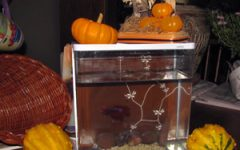 Even a Beta Fish needs attention among Halloween decorations